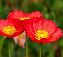 Trio of red poppies by Fran Woods