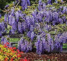 Beautiful Wisteria by Fran Woods
