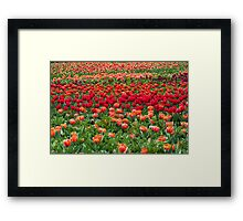 Sea of colourful tulips Framed Print
