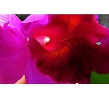 Cattleya Photographic Print