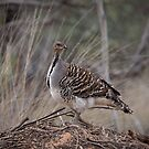 Mallee fowl by tarnyacox