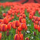Red Tulips by saj255