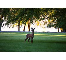 Meadow Buck Photographic Print