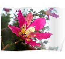 Floss silk tree blossom Poster