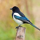 Magpie by M.S. Photography & Art