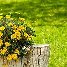 Yellow Daisies by Kuzeytac