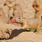 Prairie Dog by Robin Lee
