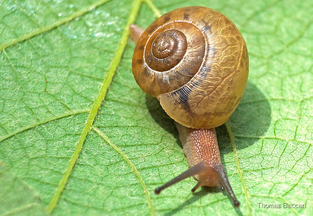 Snail on a Leaf by TJ Baccari Photography