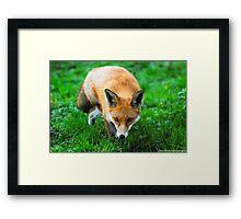fox 2 Framed Print