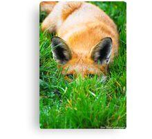 peeping fox Canvas Print