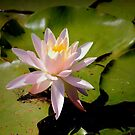 Water Lily by Robin Lee