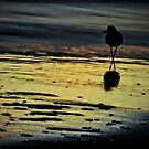 Morning Willet by Robin Black