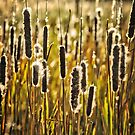 Outer Banks Cattails by Robin Lee