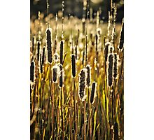 Outer Banks Cattails Photographic Print