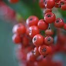 Firethorn Berries  by marens