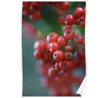 Firethorn Berries  Poster