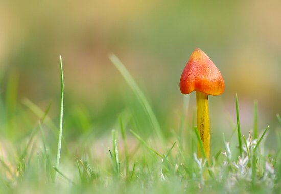 Blackening Waxcap  [ DOF ] by relayer51