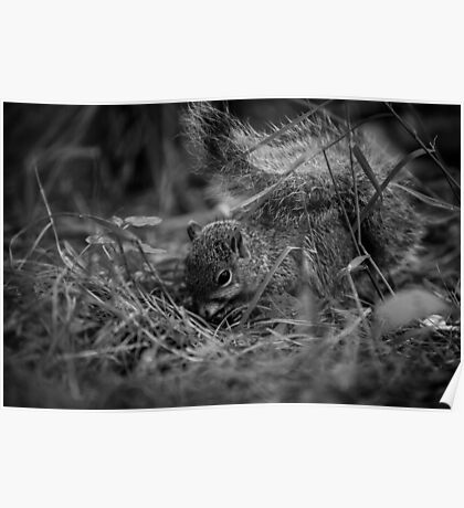 Foraging Squirrel Poster