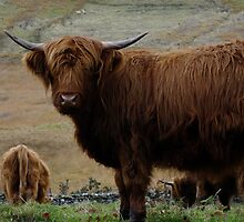 hairy cow, cairndow by Alan Stuart