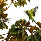Wild African Ring Necked Parakeets by DARRIN ALDRIDGE