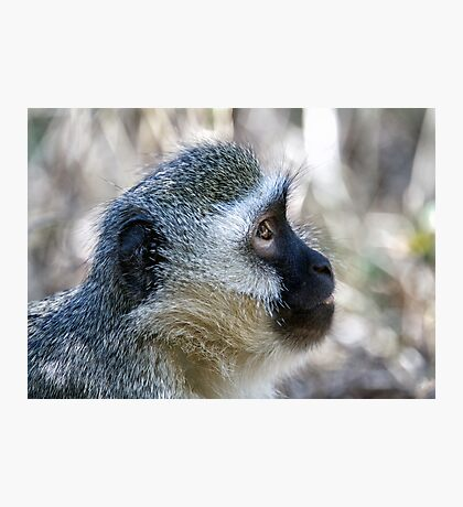 Vervet Profile Photographic Print