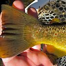 Brown trout-Caudal fin(tail), adipose fin, anal fin, peduncle(tail section between anal and caudal. by bigmountainfish