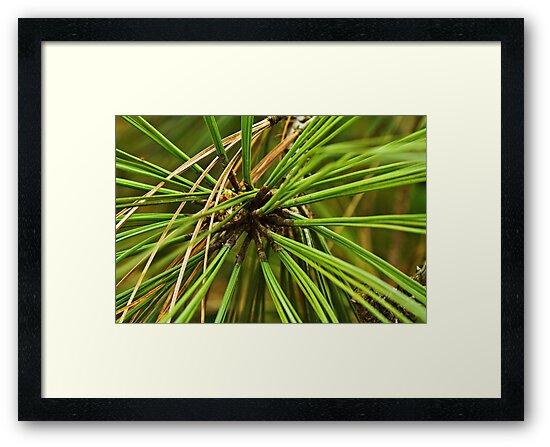 Torrey pine by Thad Zajdowicz