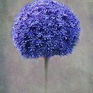 blue allium by lucyliu