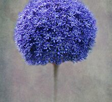 blue allium by lucyliu