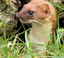 Surprise stoat by Anthony Brewer