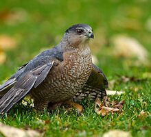 Coopers Hawk by Bill McMullen