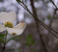 dogwood by SweetPImages