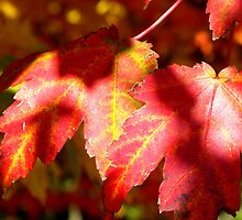 Shadows on Red Leaves by Tisha Clinkenbeard