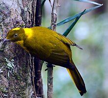 The Golden Bower Bird by Stephen  Nicholson
