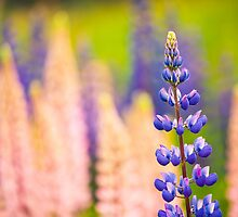 Lupin Flowers, Norway by YorkStCreative