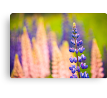 Lupin Flowers, Norway Canvas Print