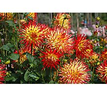 Dahlias in RHS Wisley Photographic Print