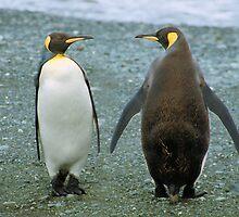 Conversation: King Penguins, Macquarie Island by Carole-Anne
