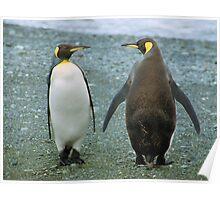 Conversation: King Penguins, Macquarie Island Poster