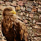 Haliaeetus pelagicus - Steller's Sea Eagle by Keepin