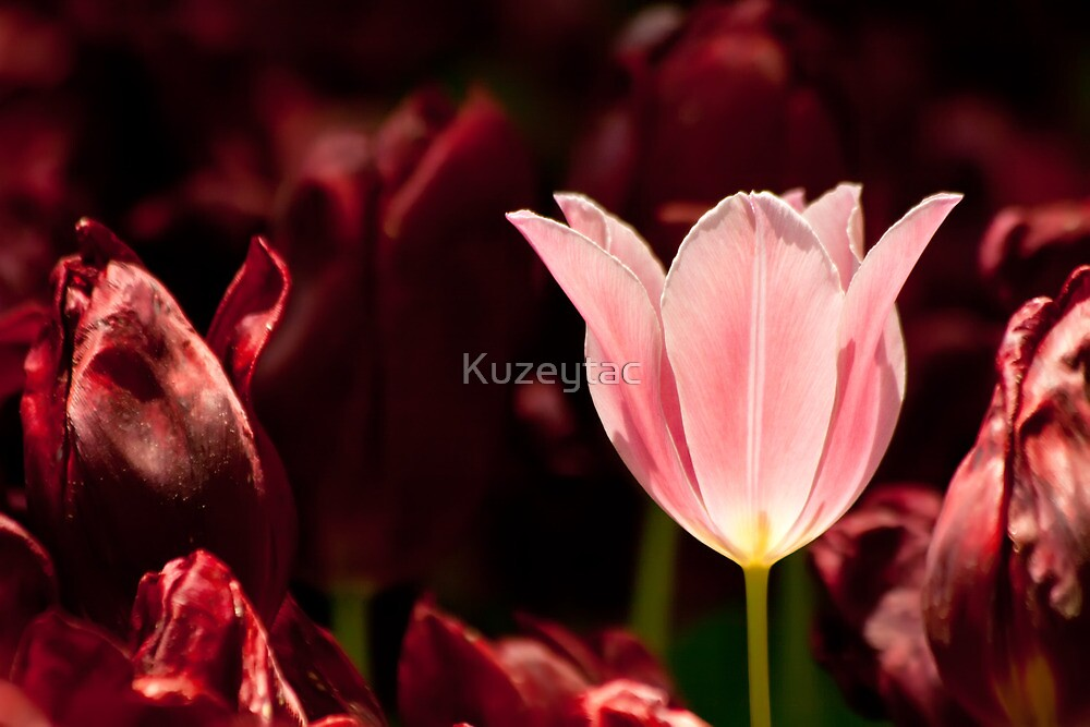 Glowing Tulip by Kuzeytac