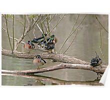 Wood Duck Males Poster