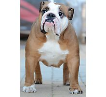 English Bulldog at a dog show  Photographic Print