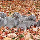 Weimaraner Puppies by DebbieCHayes