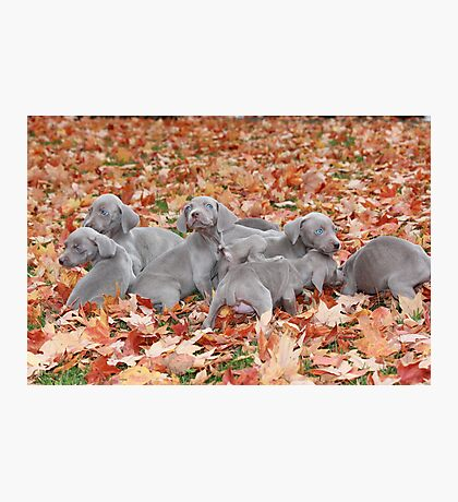 Weimaraner Puppies Photographic Print