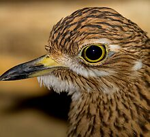 Thick Knee by John Absher