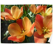 Orange botanical tulips Poster