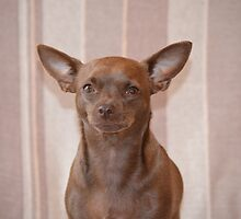 Pickle the chihuahua by pinkyboy