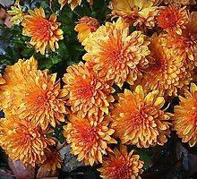 Chrysanthemums by kkphoto1