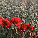 Poppies of the Field by howardcar